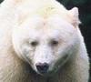 caucasianblackbear Avatar
