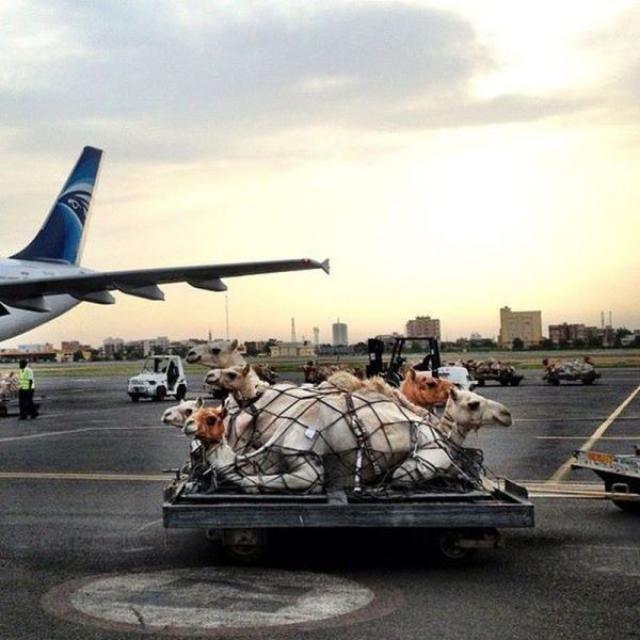 camel transport. . camel transport