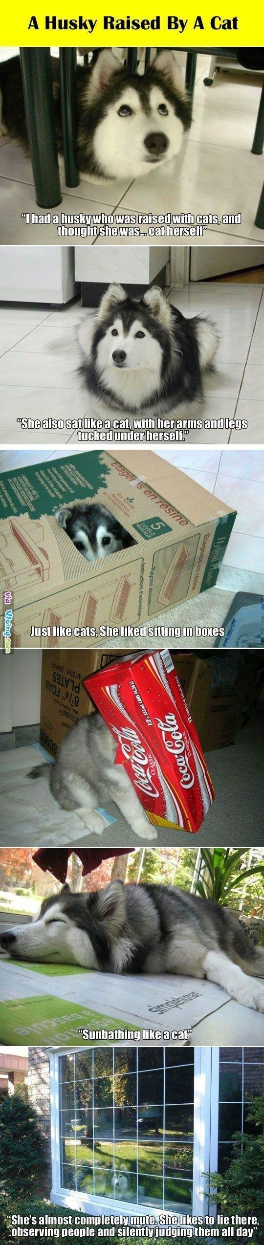 catdog. . 11 Husky Raised By A Cat. Because huskies. catdog 11 Husky Raised By A Cat Because huskies