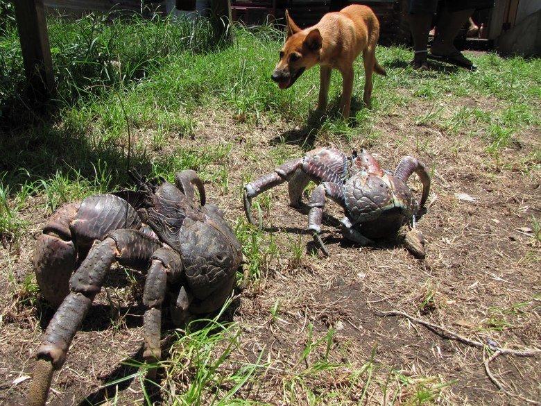 Coconut Crabs. . WTF Nature is Amazin nice nope Big very big
