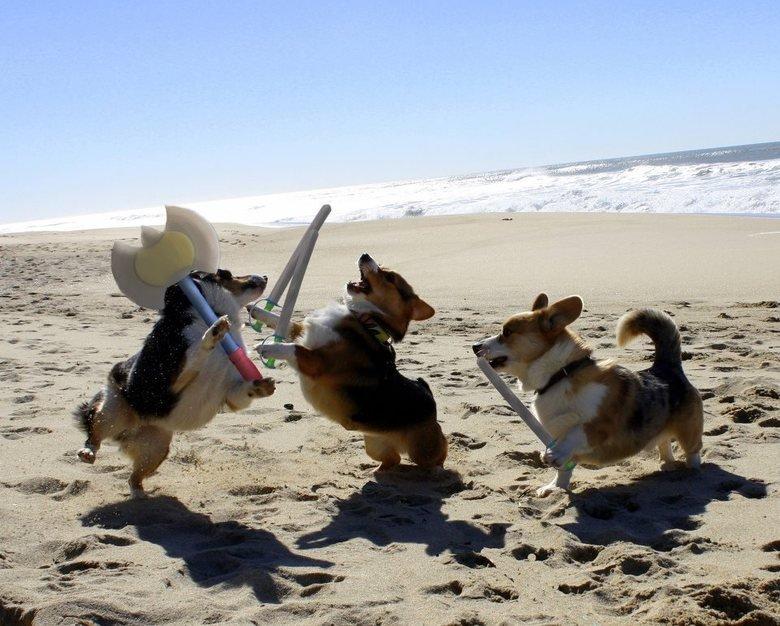 Corgi Battle. .. D'awwwe