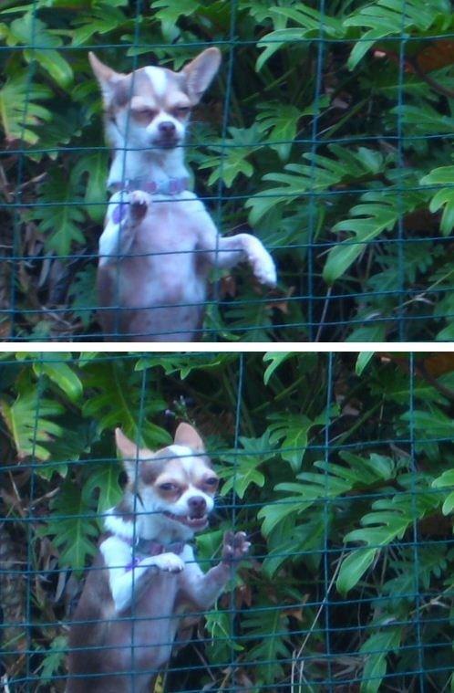 creepy chihuahua is pleased. asdasd. asdasdasd