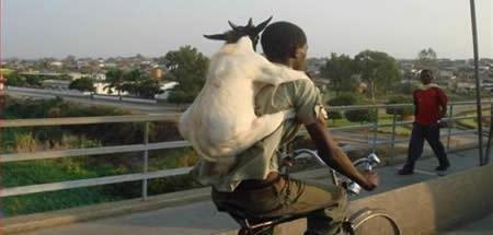 goat. . goat