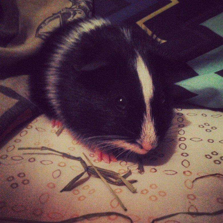 guinea pig. Got a new guinea pig named him Nosferatu I find him cute as so thats why I share it to you .. cuite