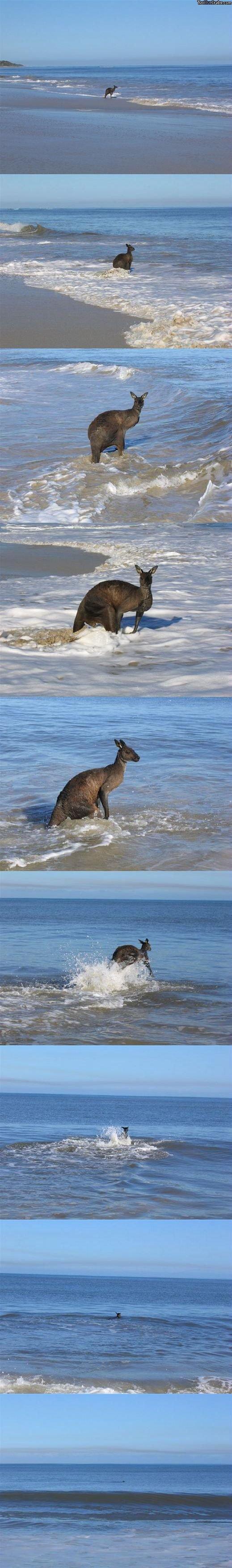 kangaroo at the beach?. kangaroo at the beach :3.. you suck! kangaroo Beach swim lol