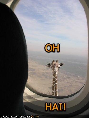 Oh, hai!. . Giraffe