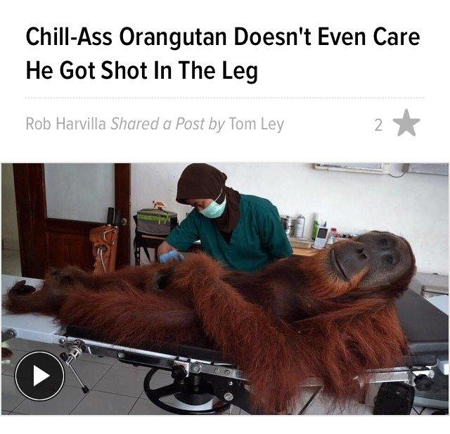 Orangutan. Self-explanatory really. Orangutan Doesn' t Even Care He Got Shot In The Leg Orangutan Self-explanatory really Doesn' t Even Care He Got Shot In The Leg