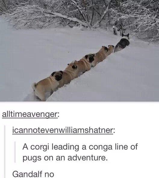 sweet. . A Corgi leading a conga line of pugs on an adventure.. I pucking love fugs! sweet A Corgi leading a conga line of pugs on an adventure I pucking love fugs!