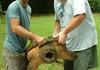 ALligator Turtle