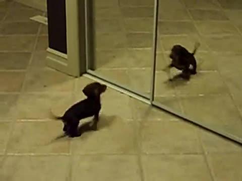 Puppy vs. Mirror.. .. first