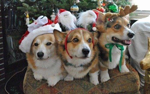 Christmas Corgis. They are not amused!.. But I am amused at least. Now I want a god damn corgi. Christmas Corgis They are not amused! But I am amused at least Now want a god damn corgi