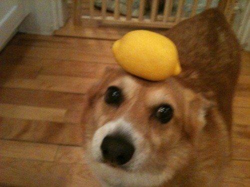 corgi!. Dog Face (no space). corgi! Dog Face (no space)