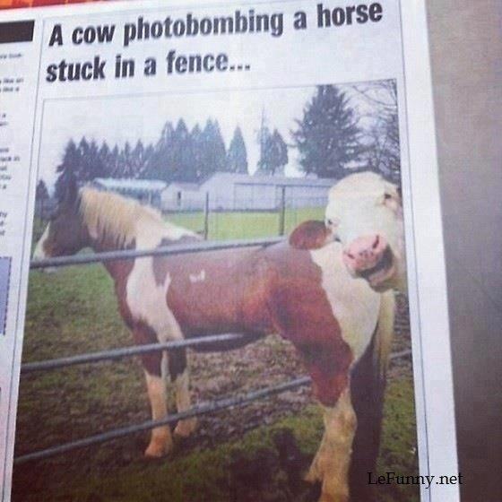 Cow photobombing. lefunny.net. Cow photobombing lefunny net
