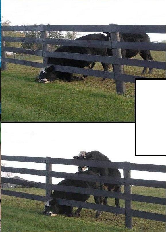 cow rape. can get worse.. Moo Gusta Cow