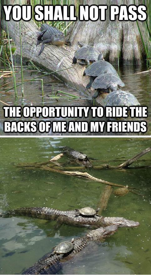 Gandalf Alligator. . alligator turtles crock Animals log meme funny joke Opportunity turtles ride all