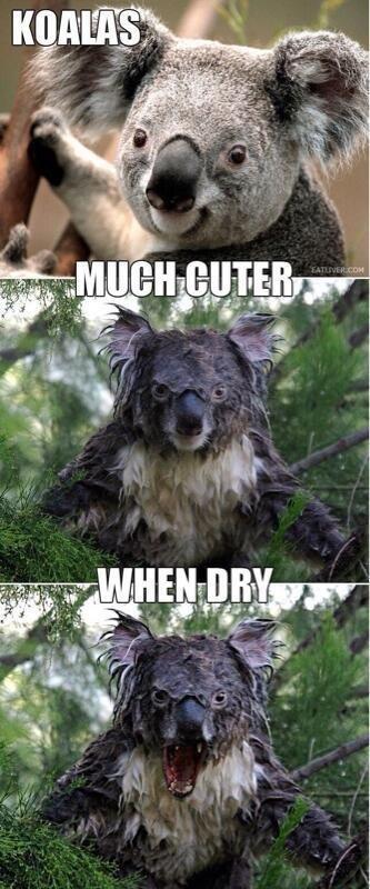 Grand Theft Koala. Source: Imgur.. when awesome Grand Theft Koala Source: Imgur when awesome