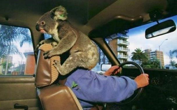 Koala Outta Nowhere !. . Koala Outta Nowhere !