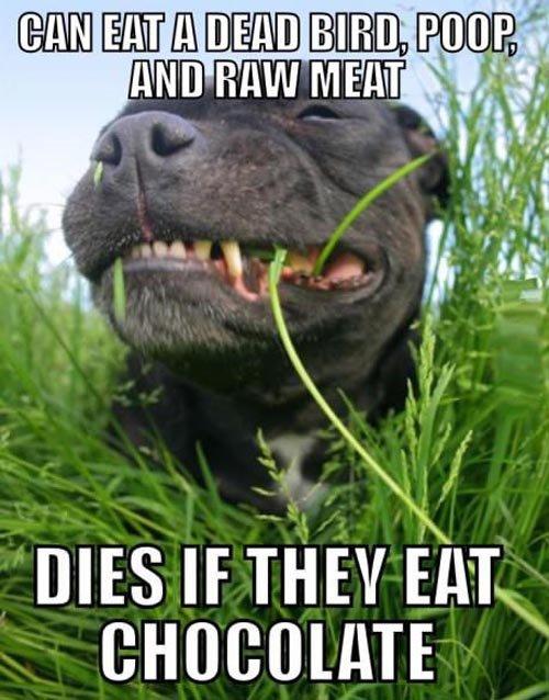 Scumbag dog. . CHOCOLATE. Lightbulb's fw Scumbag dog CHOCOLATE Lightbulb's fw