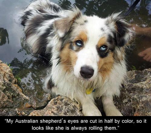 """Sexy. . My Australian shepherd' s eyes are Cut in half by color, so it leaks like she is always rolling them."""" Sexy My Australian shepherd' s eyes are Cut in half by color so it leaks like she is always rolling them """""""