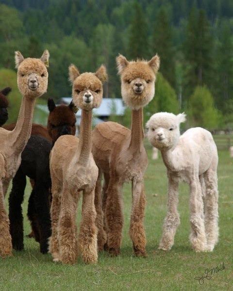 Shaved Alpacas.... . shaved Alpacas haha funny lol