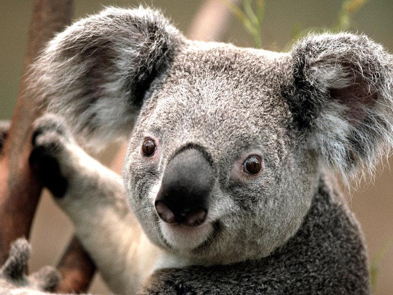 Since sloths are yesterday's news.... I bring to you, the mighty Koala!. koala