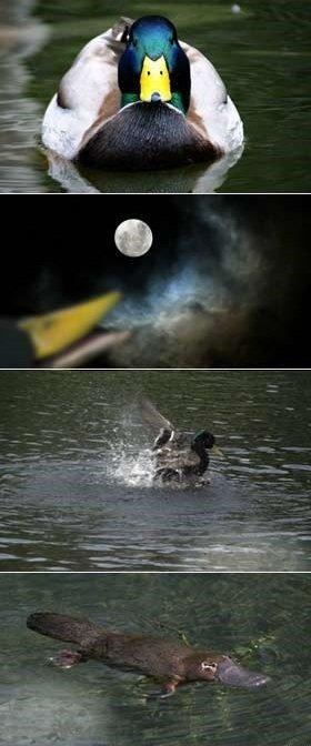story behind platypus'. . Duck platypus wereduck