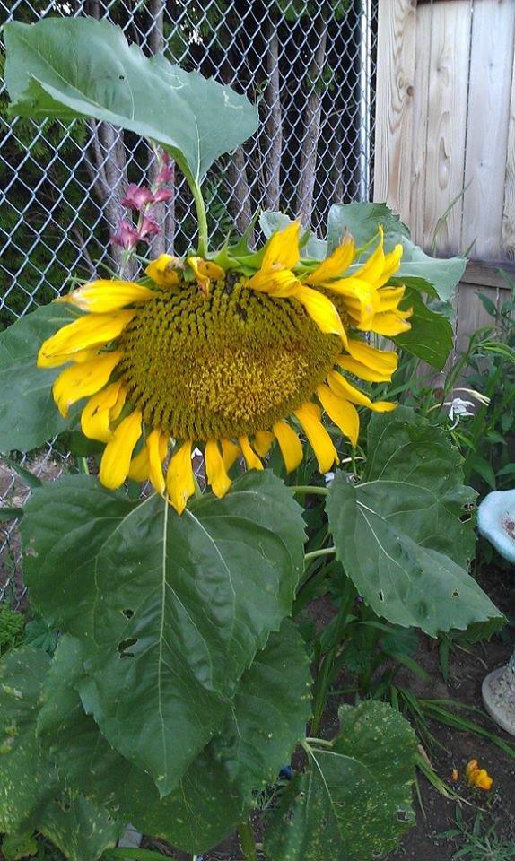 Sunflower with a Heart-On. . heart sunflower
