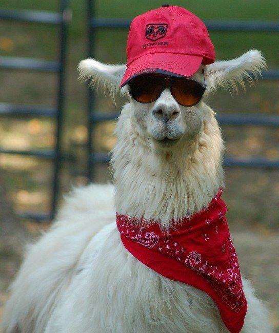 Swag on the streets,Llama in the sheets. . Swag Llama